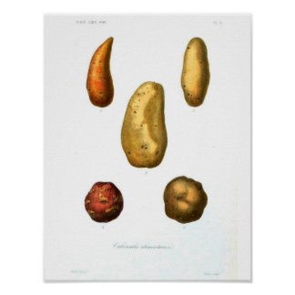 Vintage Botanical Poster - Potato