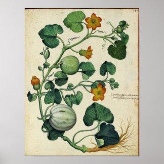 Vintage Botanical Poster - Pumpkin Squash