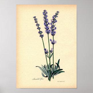 Vintage Botanical Print - Lavender