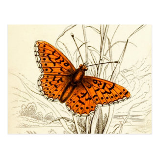 Vintage Butterfly Illustration, Orange and Black Postcard