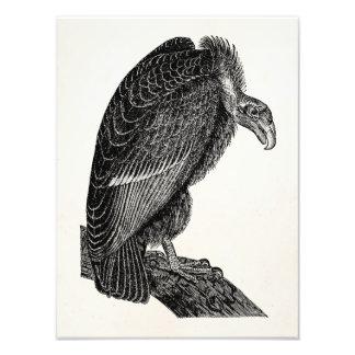 Vintage Californian Vulture Bird - Birds Template Photographic Print