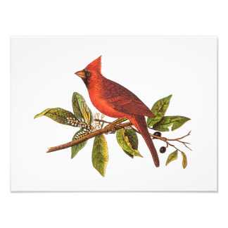 Vintage Cardinal Song Bird Illustration - 1800's Photo Print