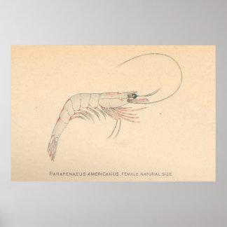 Vintage Caribbean Shrimp Diagram (1902) Poster