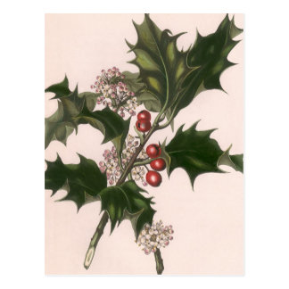 Vintage Christmas, Holly Plant with Red Berries Postcard