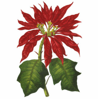 Vintage Christmas, Red Poinsettia Winter Plant Photo Cut Out