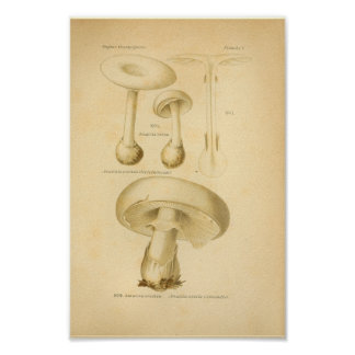 Vintage Common Mushrooms Art Print French