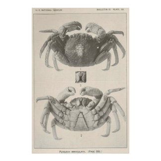 Vintage Crab Anatomy Photograph (1918) Poster
