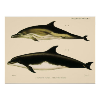 Vintage Dolphins, Marine Animals and Mammals Poster