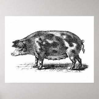 Vintage Domestic Hog Illustration - 1800's Pig Poster