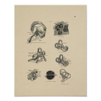 Vintage Ear Anatomy 1880 Print