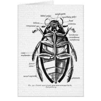 Vintage Entomology Hydrophilidae Scavenger Beetle Card
