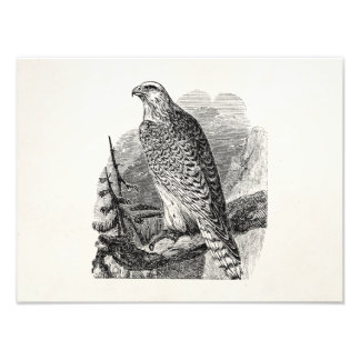 Vintage Falcon Bird - Birds Template Blank Photo Print