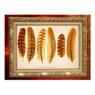 Vintage Feathers From Pheasants Postcard