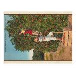 Vintage Florida Oranges Postcard Postcard
