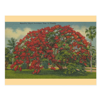 Vintage Florida Royal Poinciana Tree Postcard