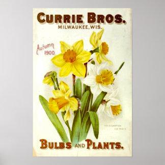Vintage Flower Daffodil Plant Catalog 1900 Poster