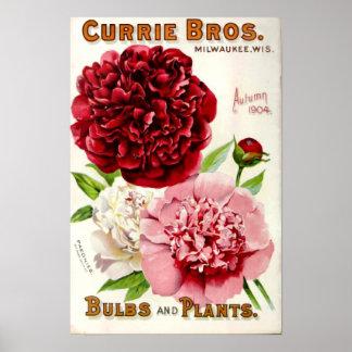 Vintage Flower Peony Illustration 1904 Poster