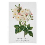 Vintage Flowers Floral Blush Noisette Rose Redoute Poster