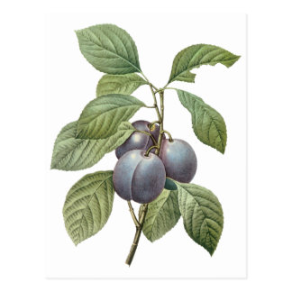Vintage Food Fruit, Purple Garden Plums by Redoute Postcards