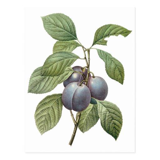 Vintage Food Fruit, Purple Garden Plums by Redoute Postcards