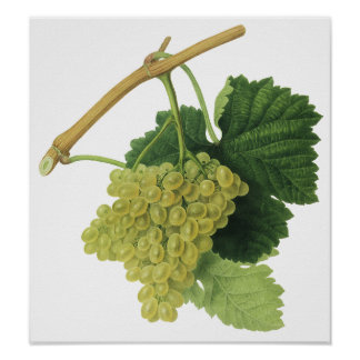 Vintage Food Fruit, White Wine Grapes on the Vine Posters