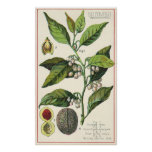 Vintage Food Herbs Spice, Nutmeg Plant Fruit Seeds Poster