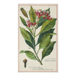 Vintage Food Herbs Spices, Botany of Cloves Poster