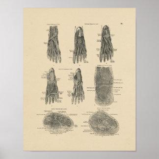 Vintage Foot Muscles Anatomy 1880 Print