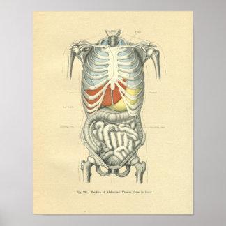 Vintage Frohse Anatomical Image Torso Poster