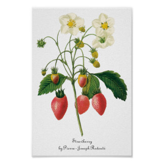 Vintage Fruit Berries Food Strawberries by Redoute Poster
