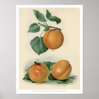 Vintage Fruits Illustration - Apricot Poster
