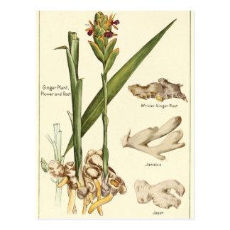 Vintage ginger illustration postcard recipe card