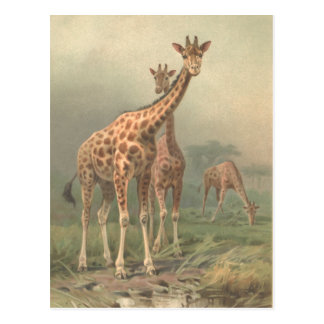 Vintage Giraffe 1894 Print African Plains Postcard