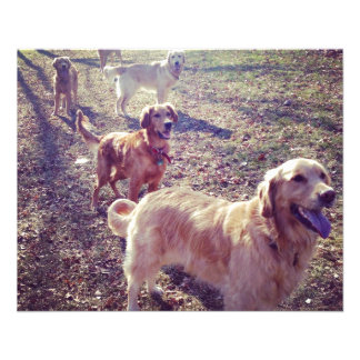 """Vintage golden retriever dogs lined up 4.5"""" x 5.6"""" flyer"""