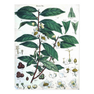 Vintage Green Tea Botanical Print Postcard