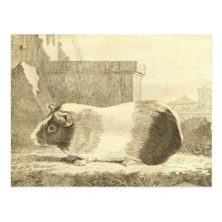 Vintage Guinea Pig Postcard