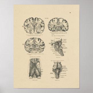 Vintage Human Brain Anatomy 1880 Print