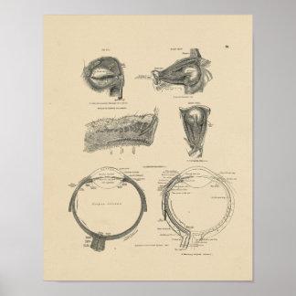 Vintage Human Eye Anatomy 1880 Print