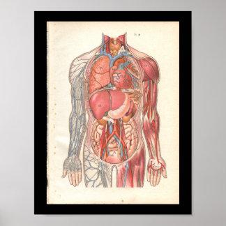 Vintage Human Internal Anatomy Print
