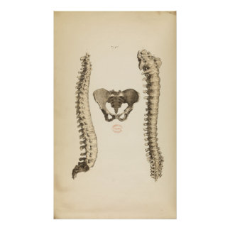 Vintage Illustration of Bones Human Spine Poster