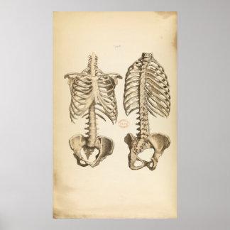 Vintage Illustration of Bones of the Trunk Poster