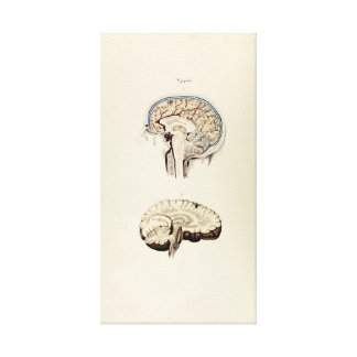 Vintage Illustration of Human Brain Canvas Print