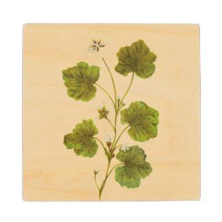 Vintage Illustration of The Round Leave Mallow Maple Wood Coaster