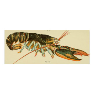Vintage Lobster Illustration (1895) Poster