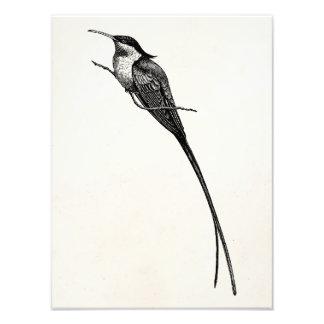 Vintage Long Tailed Hummingbird Illustration Photo Print