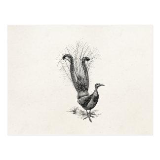 Vintage Lyre Bird Lyrebird Illustration Template Postcard