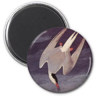 Vintage Marine Bird, Arctic Tern by John Audubon Magnet