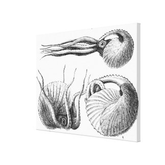 Vintage Natural History Mollusca Illustration Stretched Canvas Prints