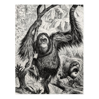Vintage Orangutan Illustration - 1800's Monkey Postcard
