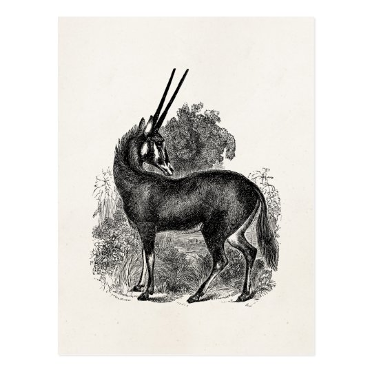 Vintage Oryx Antelope Gazelle Personalised Animals Postcard